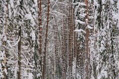 Snowy forest. Royalty Free Stock Image