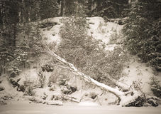 Snowy forest with birch felled by wind Royalty Free Stock Images