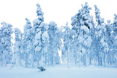 Snowy Forest after blizzard, frozen trees and a lot of snow Royalty Free Stock Images