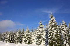 Snowy forest. And a blue sky Stock Image