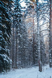 Snowy forest in cold Siberia royalty free stock photo