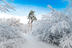 Snowy forest in December Stock Photo