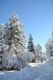 Snowy forest with fir-trees in winter turkey bilecik long road towads the wood Royalty Free Stock Photo