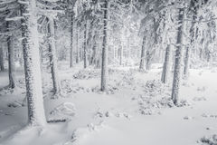 Snowy forest. Harsh winter somewhere in polish mountains royalty free stock image
