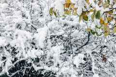 Snowy forest with last autumn leaves covered with snow Royalty Free Stock Photos
