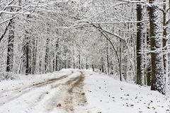 Snowy forest. Latvia Stock Image