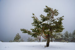 Snowy forest in Madrid mountains. Royalty Free Stock Image