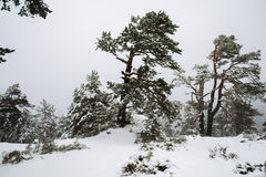 Snowy forest in Madrid mountains. Royalty Free Stock Photos