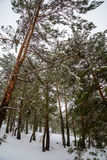 Snowy forest in Madrid mountains. Royalty Free Stock Photo