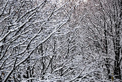 Snowy Forest, Ontario Canada Stock Image