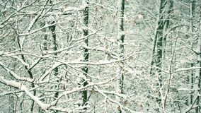 Snowy forest or park in winter. With tree branches gently swaying in breeze stock video footage