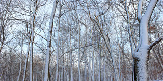Snowy Forest Scenery Illinois Stock Photos
