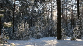 Snowy forest, silence, snow falls. stock video footage