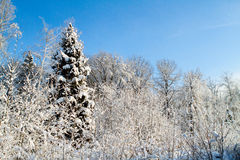 Snowy forest and sky Royalty Free Stock Photos
