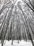 Snowy forest with tall trees Stock Image