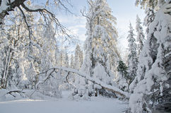 Winter Forest after Snow Storm Royalty Free Stock Image
