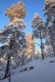 Snowy forest and warm sunlight Stock Photography