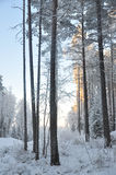 Snowy forest, winter, frosty day Stock Images