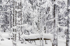 Snowy forest. Winter landscape with snow-covered spruce forest royalty free stock photography