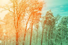 Snowy forest at sunrise Stock Photos