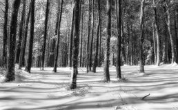 Snowy forest in winter Stock Image