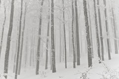 Snowy forest, winter in the Vosges, France. Royalty Free Stock Photos