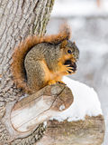 Snowy Fox Squirrel. A fox squirrel works at opening a nut while perched on a tree branch and surrounded by winter snow Royalty Free Stock Photo
