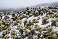 Snowy Frailejones Stockfotografie