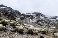 Snowy Frailejones 2 Stockfotos