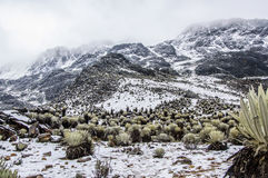 Snowy Frailejones 3 Стоковое Фото