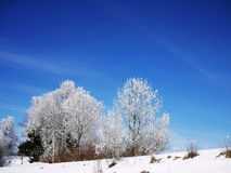 Snowy frosty branches Royalty Free Stock Photos