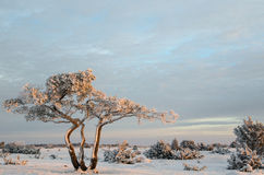 Snowy and frosty pine tree Royalty Free Stock Image