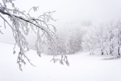 Snowy and frozen bough. Winter time Royalty Free Stock Photos