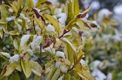Snowy frozen covering yellow leafed bush. Icy snow covering the yellow leaves of a cold frozen bush royalty free stock photos