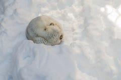 Snowy-Fuchsschlaf auf Schnee lizenzfreie stockfotos