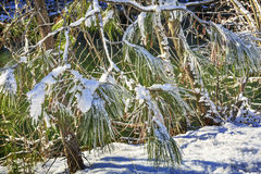 Snowy Fur Trees Winter Wenatchee River Valley Washington Royalty Free Stock Images