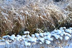 Snowy garden. With grasses and perennials stock images