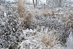 Snowy garden. With ornamental grasses and rudbeckias royalty free stock images