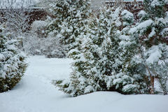 Snowy garden view in winter with pine trees Royalty Free Stock Photography
