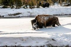Snowy-gegenübergestellter Bison Stockbild