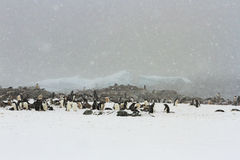 Snowy Gentoo Penguin Rookery Royalty Free Stock Photography