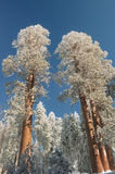 Snowy Giant Sequoia Trees tower above the forest Stock Photos
