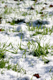Snowy grass Stock Image