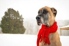 Snowy great dane Stockfoto