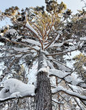 Snowy high pine tree into a winter forest Royalty Free Stock Photography