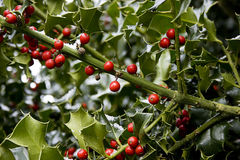 Snowy holly Stock Images