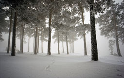 Snowy-Holz, versteckend im Nebel stockfoto