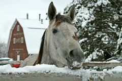 Snowy Horse. Horse Peeking Over the Fence After a Snowstorm Royalty Free Stock Image