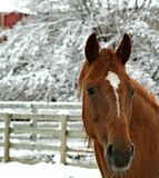 Snowy Horse. Sorrel Horse in its Paddock after a Snowstorm Stock Photo