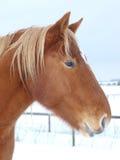 Snowy Horse Head Shot Stock Photos
